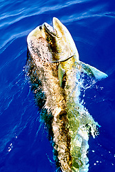 mahi mahi, dolphin fish, or dorado, Coryphaena hippurus, bull, Kona, Big Island, Hawaii, USA, Pacific Ocean