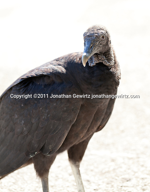 High-key image of a black vulture in Everglades National Park, Florida. WATERMARKS WILL NOT APPEAR ON PRINTS OR LICENSED IMAGES.
