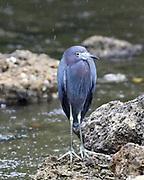 Little Blue Heron stands in the rain at Ding Darling National Wildlife Refuge on Sanibel Island, Florida.