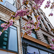 Cherry blossoms bloom in spring in Seattle, Washington.