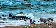 """STUNNING IMAGES CAPTURE ORCAS AS THEY DRIVE UP ON TO BEACH TO HUNT FOR SEA LION'S<br /> <br />  The hunts were taken at Valdés peninsula, Punta Norte. There are some beaches at Valdés, where very few orca whales are adapted to """"voluntary beaching"""" to get close enough to young sea lions, which play in the shallows. This is a dangerous undertaking for the whales, too. If they can't get back to deeper water they might die. Two incidents of a whale being saved by people occurred here. They spilled water over them while they were stuck, not to have them drying out. Next hightide freed them. At any given time there were less than 10 individuals capable of performing this art of hunting! Presently, this number might be a little higher. Voluntary beaching was recorded first in the seventies last century in that area. It is most probably the only area, where whales learned this technique. There are only few scattered records of this behavior from one place in the Indian Ocean, but that is not scientifically confirmed. So this is a very rare behavior in whales and it is a good example of the intelligent way these animals react to their environment.<br /> <br /> PHOTO SHOWS:  The whale orientate themselves on the sound of the young in the water. They can't see them at all. The attack is sometimes so fast, that the sea lions at the beach seemingly don't react at all. There is just one pub less<br /> ©Reinhard Radke Nature Photography/Exclusivpeix Media"""