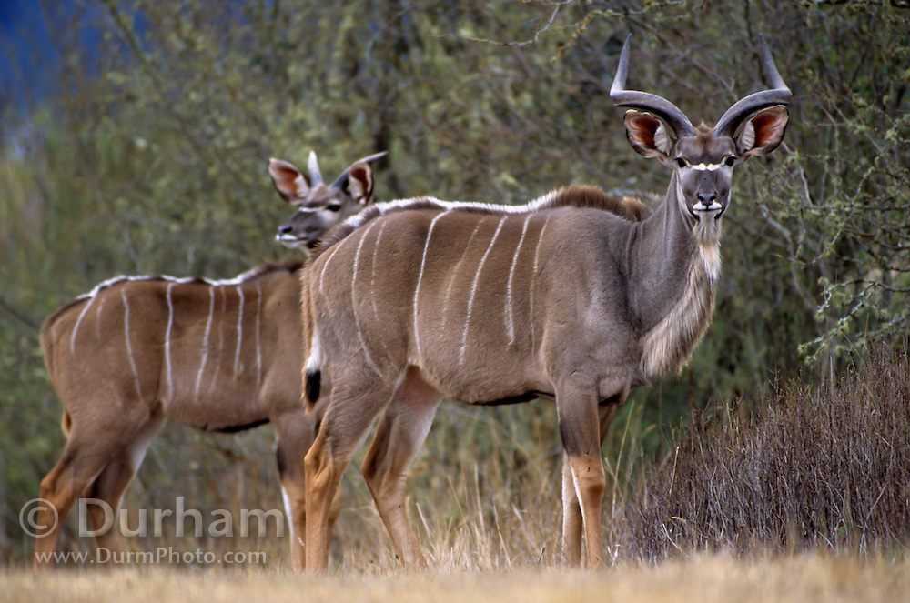 Two young male greater kudu (Tragelaphus strepsiceros). Native range: South and eastern africa, from Chad nearly to the Red Sea. Captive.