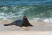 Hawaiian monk seal, Monachus schauinslandi, Critically Endangered endemic species, female  on beach at west end of Molokai, Hawaii ( Central Pacific Ocean )