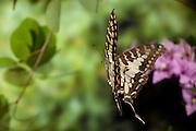 A swallowtail butterfly (Papilio spp) in Matobo National Park, Zimbabwe. © Michael Durham / www.DurmPhoto.com