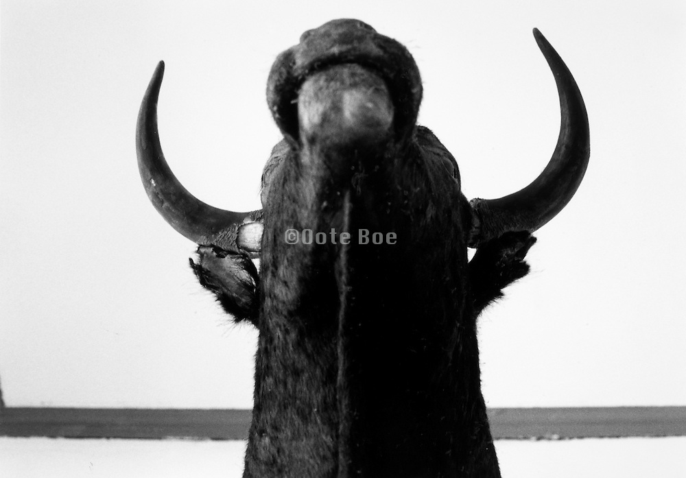 abstract view of taxidermied bull from underside