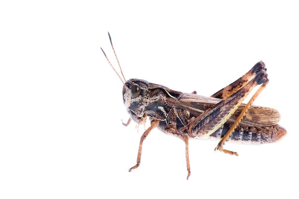 IFTE-NB-007743; Niall Benvie; Female Gomphocerippus sibiricus; grasshopper; Europe; Austria; Tirol; Fliesser Sonnenhänge; insect arthropod invertebrate; horizontal; high key; brown white; controlled; female; adult; one; moorland; 2008; July; summer; strobe backlight; Wild Wonders of Europe Naturpark Kaunergrat