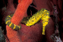 A Tiger-tail Seahorse, Hippocampus comes, hunts for tiny crustaceans while perched on a brilliant red gorgonian coral.  Mergui Archipelago, Myanmar, Andaman Sea, Indian Ocean