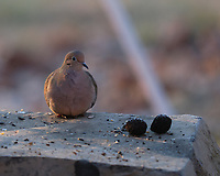 Mourning Dove. Image taken with a Fuji X-H1 camera and 200 mm f/2 lens with 1.4x teleconverter