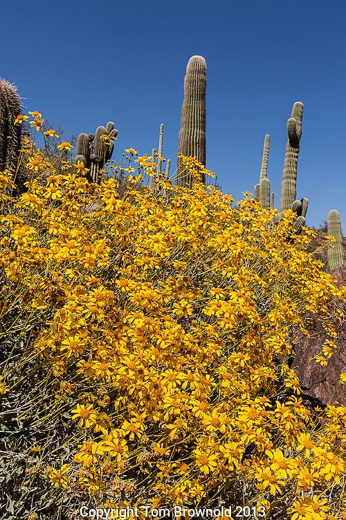 Sonora Desert Bloom of Brittle Bush and Saguar