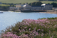 Thrift in bloom on the cliffs at Freshwater Bay, isle of wight