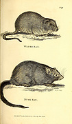 Various Rats from General zoology, or, Systematic natural history Vol 2 Mammalia, by Shaw, George, 1751-1813; Stephens, James Francis, 1792-1853; Heath, Charles, 1785-1848, engraver; Griffith, Mrs., engraver; Chappelow. Copperplate Printed in London in 1801 by G. Kearsley