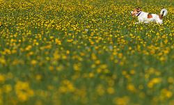 THEMENBILD - ein Hund spielt in einer Blumenwiese, aufgenommen am 10. Mai 2017, Kaprun, Österreich // A dog playing in a flower meadow, Austria on 2017/05/10. EXPA Pictures © 2017, PhotoCredit: EXPA/ JFK