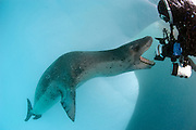 Diver comes face to face with a Leopard seal (Hydrurga leptonyx), Astrolabe Island, Antarctica. Image shows the full scale of this apex predator