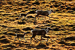 Caribou cows and calves from the porcupine herd, North Yukon