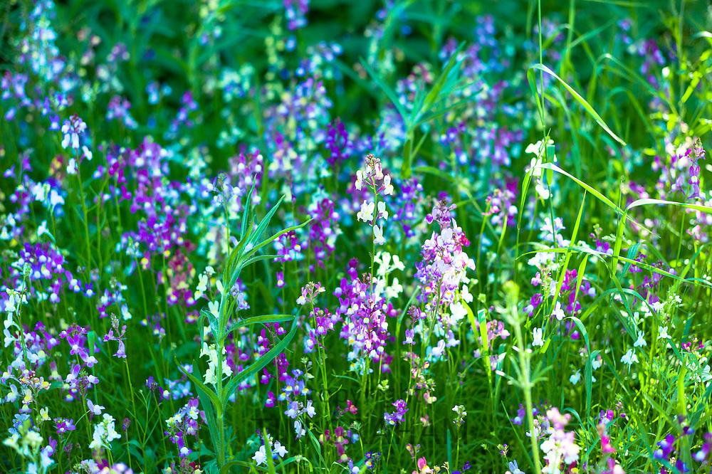 Pastel pink, purple and blue wildflowers in bloom in wildflower meadow in summer in The Cotswolds, UK