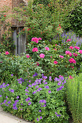 A section of the purple border at Sissinghurst Castle Garden with Rosa 'News' and Geranium magnificum