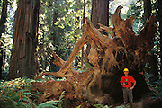 Peter Menzel beneath the roots of a fallen redwood tree.  Humboldt Redwoods State Park, California, USA. MODEL RELEASED.