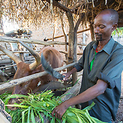 CAPTION: Cash transfers from Concern Worldwide have enabled him to invest in a small animal rearing project. Financial gains over time allowed him to buy bigger animals that brought him more income. Recently, he purchased a cow and two calves, testifying to how well he's doing. LOCATION: Rushikiri Village, Kimuna Cell, Rusatira Sector, Huye District, South Province, Rwanda. INDIVIDUAL(S) PHOTOGRAPHED: Stanislas Iriboneye.