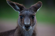 Portrait of an Eastern Grey Kangaroo, at Tom Groggins, Mount Kosciuszko National Park