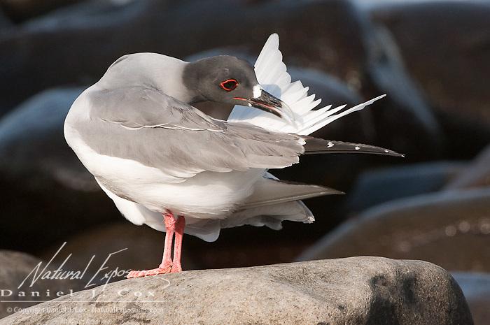 Swallow tailed Gull (creagrus furcatus) Galapagos Island, Ecuador