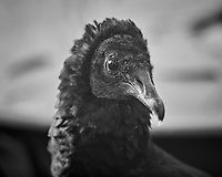 Black Vulture (Coragyps atratus). Image taken with a Nikon D850 camera and 600 mm f/4 VR lens