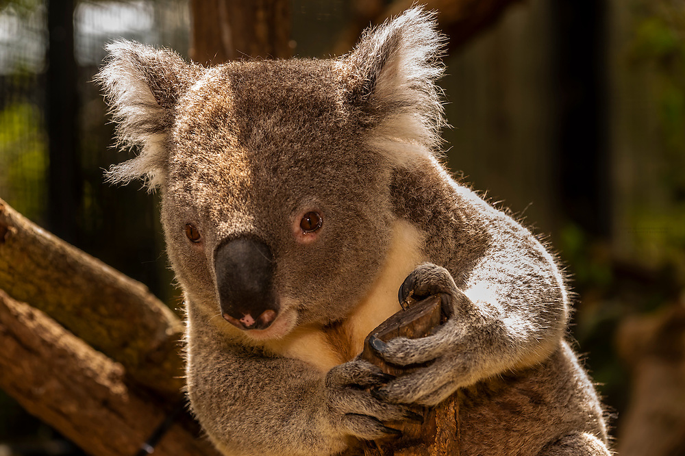 Koala Bear, Taronga Zoo, Sydney Harbor, Sydney, New South Wales, Australia