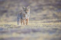 Tibetan Fox, Vulpes ferrilata, on the Tibetan highplateau Yushu, Haixi, Qinghai, China