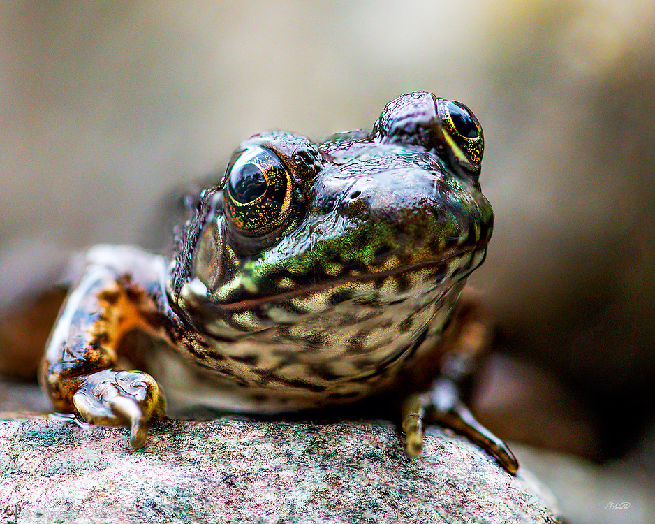 The northern green frog (Lithobates clamitans melanota) is a subspecies of the green frog, Lithobates clamitans and has been introduced to British Columbia.  This frog grows up to 86 mm (3.5 in) and is darker when young.  The northern green frog dwells in marshes, swamps, ponds, lakes, springs, and other aquatic environments. They are active both day and night. This individual was photographed in the Carrabassett River in northern Maine in August.<br /> <br /> The image is a focus stack of 11 handheld exposures.