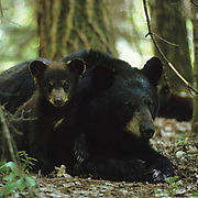Black Bear, (Ursus americanus) Minnesota, sow with spring cub resting in forest. Summer.