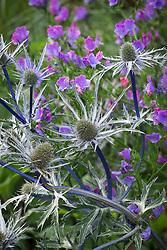 Eryngium x zabelii 'Violet' - Sea holly - with Echium vulgare 'Blue Bedder' AGM. Viper's bugloss
