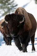 American bison bull walking in snow in Yellowstone National Park