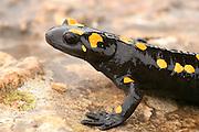 Fire Salamander (Salamandra salamandra) Israel