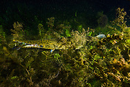Spotted Gar (eating a sunfish)<br /> <br /> Jennifer Idol/Engbretson Underwater Photography