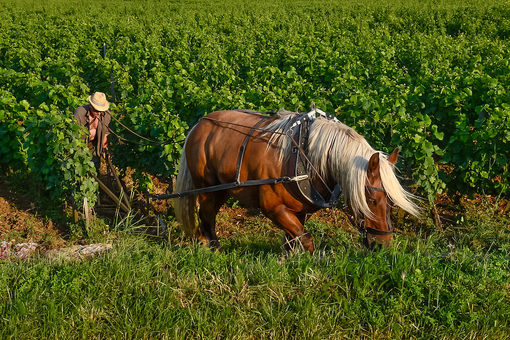 Horse ploughing the vineyard at Les Chaumes. Vosne-Romanee, Burgundy, France