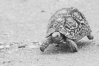 A tortoise demonstrating sheer determination and exquisite balance in his quest to move from A to B.