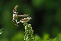 Red-backed Shrike male and female, Lanius collurio, Neuntoeter Maennchen und Weibchen, near Nikopol, Bulgaria