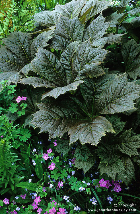 Rodgersia podophylla syn. R.japonica ( with new growth colour ) and forget-me-nots