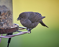 Female Brown-headed Cowbird. Image taken with a Nikon D5 camera and 600 mm f/4 VR lens (ISO 1600, 600 mm, f/5.6, 1/400 sec)