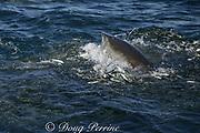 copper shark or bronze whaler ( Carcharhinus brachyurus ) lunges through bait ball of sardines or pilchards ( Sardinops sagax ) during annual Sardine Run off the Wild Coast ( Transkei ) of South Africa at Mboyti ( Indian Ocean )