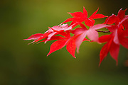 Contrasting colours of an acer in full autumn colour