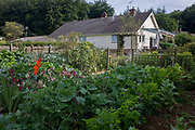Assorted home-grown vegetable plot in a Somerset back garden. The home-grown organic crops have been sown and nurtured on this privately-owned land in a rural location. Rows of salads, rhubarb, beets, onions and other assorted veg and flowers thrive on this good soil, helping to feed the family living in the nearby bungalow.