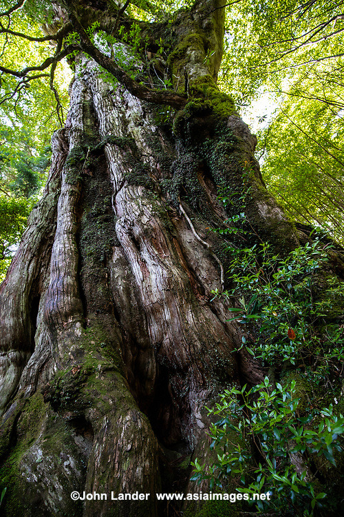 66.3 Kigensugi Cedar Tree 紀元杉 is estimated to be at least 3000 years old, one of the most ancient trees on Yakushima. Its age shows in a dramatic way with gnarled bark, height, width and girth which give it a majestic presence.  A wide array of living things have attached themselves to the tree, among them:  chamaecyparis obtusa, rhododendron, sorbus commixta, ilex crenata, and illicium arisatum.   A visit to Kigensugi is an escape into primeval nature and can view growth upon growth on this ancient tree.