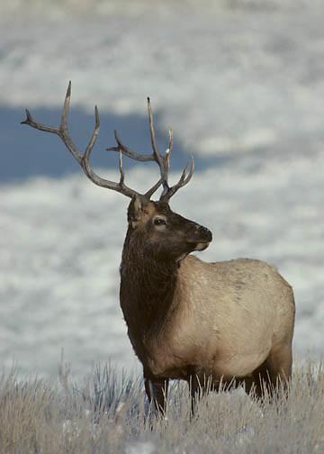 Elk (Cervus canadensis) bull in fall rut in Wyoming.