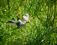Female Ruby-throated Hummingbird feeding on a Cosmos flower. Image taken with a Nikon 1 V3 camera and 70-300 mm  VR lens
