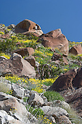 Mexican Gold Poppies (Eschscholtzia mexicana) growing among boulders on a slope in the Anza-Borrego Desert, California