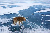 Russie, Siberie, Oblast d'Irkoutsk, lac Baikal, Maloe More ( petite mer), le lac gelé pendant l'hiver, le chien de Piotre Medvedev // Russia, Siberia, Irkutsk oblast, Baikal lake, Maloe More (little sea), frozen lake during winter, Piotre Medvedev dog