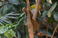 Anderson's squirrel, Callosciurus quinquestriatus, Tongbiguan Nature Reserve, Dehong, Yunnan, China