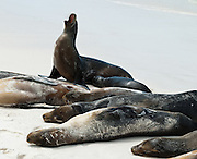 "Galápagos Sea Lions (Zalophus wollebaeki) bark and bask on the sandy beach of Gardner Bay, a wet landing location on Española (Hood) Island, Galapagos Islands, Ecuador, South America. This mammal in the Otariidae family breeds exclusively on the Galápagos Islands and in smaller numbers on Isla de la Plata, Ecuador. Being fairly social, and one of the most numerous species in the Galápagos archipelago, they are often spotted sun-bathing on sandy shores or rock groups or gliding gracefully through the surf. They have a loud ""bark"", playful nature, and graceful agility in water. Slightly smaller than their Californian relatives, Galápagos Sea Lions range from 150 to 250 cm in length and weigh between 50 to 400 kg, with the males averaging larger than females. Sea lions have external ear-like pinnae flaps which distinguish them from their close relative with whom they are often confused, the seal. When wet, sea lions are a shade of dark brown, but once dry, their color varies greatly. The females tend to be a lighter shade than the males and the pups a chestnut brown. In 1959, Ecuador declared 97% of the land area of the Galápagos Islands to be Galápagos National Park, which UNESCO registered as a World Heritage Site in 1978. Ecuador created the Galápagos Marine Reserve in 1998, which UNESCO appended in 2001."