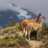 A lot of guanakos can be seen in the Torres del Paine National Park. As vicunas, guanakos also live in high elevations.