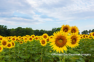 63801-11114 Sunflowers in field Jasper Co.  IL